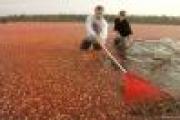 Предприимчивые северяне намерены наладить в Поморье «клюквенную промышленность» — Экономика — Новости Архангельска