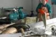 На «статус кво» не клюет! Или перспективы развития рыбной отрасли в России: мнение — Экономика — Новости Архангельска